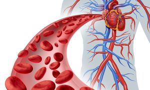 артерии и сосуды человека
