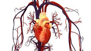 сердце и сосуды человека