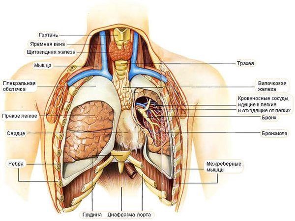 органы грудной клетки