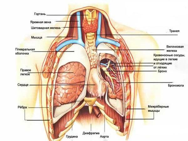 анатомия органов грудной клетки